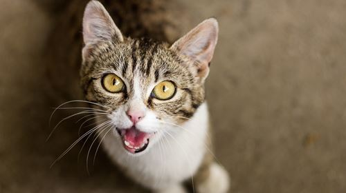 Is Your Cat Meowing a Lot?