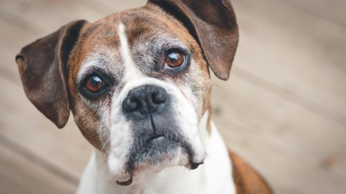 Why Does Your Dog Stare Into Your Eyes?